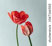 Small photo of Styled minimalistic still life with tulip flowers on white background.