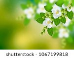 white jasmine. the branch... | Shutterstock . vector #1067199818