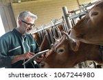 cow breeder checking on... | Shutterstock . vector #1067244980