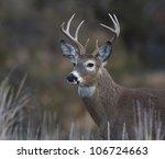 Bust Shot Of Whitetail Buck...