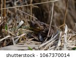 toad during the breeding season ... | Shutterstock . vector #1067370014