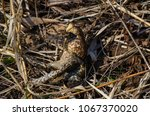 toad during the breeding season ... | Shutterstock . vector #1067370020
