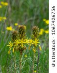 asphodeline is a genus of... | Shutterstock . vector #1067426756