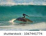 pelican flying low in st... | Shutterstock . vector #1067441774