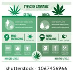 Cannabis Sativa And Cannabis...