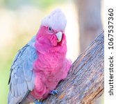 Small photo of A Galah, a pink and grey coloured cockatoo, photographed in the forests of South Western Australia. Found in most areas of Australia, they are a highly intelligent, social and adaptable parrot.