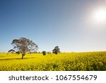 the sun drenching a field of... | Shutterstock . vector #1067554679