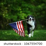 Stock photo happy border collie carrying usa flag 1067554700
