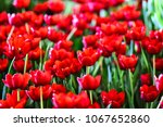 red tulips background and... | Shutterstock . vector #1067652860