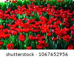 red tulips background and... | Shutterstock . vector #1067652956