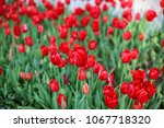colorful tulips and colorful... | Shutterstock . vector #1067718320