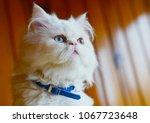 Persian And Turkish Van Cats...
