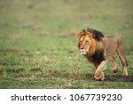 lion king on the grasses of... | Shutterstock . vector #1067739230