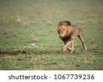 lion moving fast in savannah ... | Shutterstock . vector #1067739236