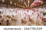 Poultry farm with chicken....