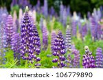 wild lupines growing in black... | Shutterstock . vector #106779890