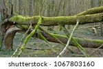 Mossy Fallen Tree Trunk With...