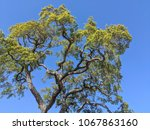 large old tree with twisted... | Shutterstock . vector #1067863160