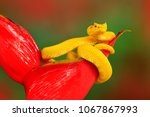 yellow eyelash palm pitviper ...   Shutterstock . vector #1067867993