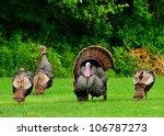 A Group Of Wild Turkeys...