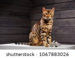 Stock photo beautiful cat of bengali breed young domestic cat exhibition animal cat or cat spotty color 1067883026