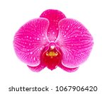 purple orchid flower isolated... | Shutterstock . vector #1067906420