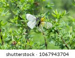 two white butterfly cabbages... | Shutterstock . vector #1067943704
