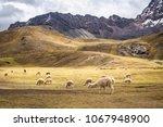 the wild alpacas in rainbow... | Shutterstock . vector #1067948900