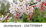 martenitsi tied to a blossoming ... | Shutterstock . vector #1067958869