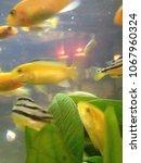 goldfish in small aquarium with ...   Shutterstock . vector #1067960324