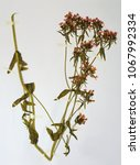 Small photo of Herbarium sheet from Centaurium erythrea, the Feverwort or European centaury, from the gentian family Gentianaceae