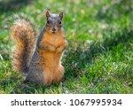 fox squirrel in a suburban yard ... | Shutterstock . vector #1067995934