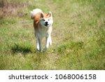 Running Akita Inu Dog On A...
