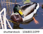 wild duck on spring background  ... | Shutterstock . vector #1068011099