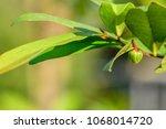 polyalthia suberosa   young...   Shutterstock . vector #1068014720