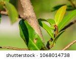 polyalthia suberosa   young...   Shutterstock . vector #1068014738