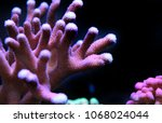 Small photo of Stylophora sps coral
