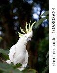 Sulphur Crested Cockatoo ...