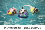 Three Jack Russell Terrier Dog...