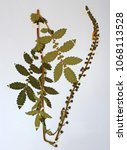 Small photo of Herbarium sheet with Agrimonia eupatoria, the Common agrimony or sticklewort, from the family Rosaceae