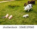 plastic toy pig. figures pigs... | Shutterstock . vector #1068119060