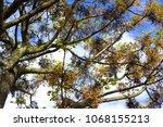 spring tree in lisbon  portugal.... | Shutterstock . vector #1068155213