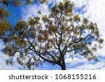 spring tree in lisbon  portugal.... | Shutterstock . vector #1068155216