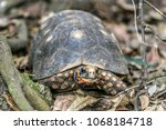 red footed tortoise moving... | Shutterstock . vector #1068184718