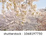 sakura flowers on trees...   Shutterstock . vector #1068197750