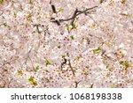 sakura flowers on trees...   Shutterstock . vector #1068198338