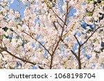sakura flowers on trees...   Shutterstock . vector #1068198704