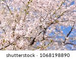 sakura flowers on trees...   Shutterstock . vector #1068198890