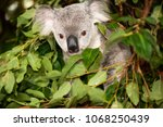 cute australian koala in a tree ... | Shutterstock . vector #1068250439