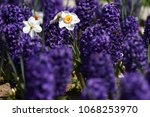 hyacinth and narcissus ... | Shutterstock . vector #1068253970